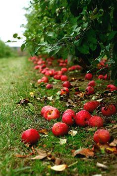 Red Apples  falling for autumn