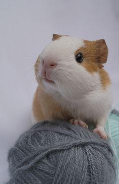 Aweww cute guinea pig...