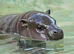 Baby. Pygmy. Hippo. !!!