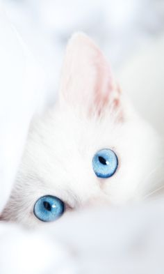 cat with beautiful blue eyes...