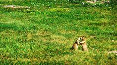 Des chiens-de-prairie... Un amour naissant