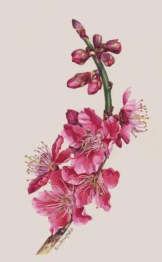chinese hibiscus botanical drawing - Google Search
