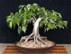 Bonsai Weeping Fig Ficus