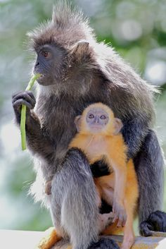 Silver Leaf Monkey | Flickr - Photo Sharing!