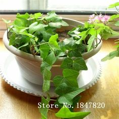 2016 Bonsai hedera helix Seeds 100pcs 10kinds mix Flower Seeds Novel Plant for Garden Free Shipping