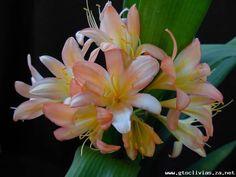 Clivia growers of distinction Arrow Keys, Close Image, Flowers, Plants, Florals, Planters, Flower, Blossoms, Plant