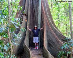 Giant fig trees in Conondale National Park near Noosa in Queensland, Australia GypsyNester.com