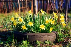 Tire planter bursting with large bouquet of yellow flowers.