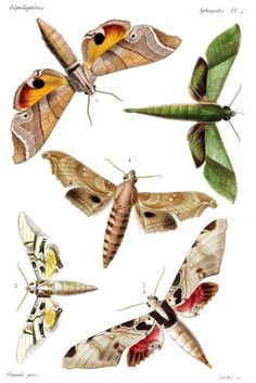 oldbookillustrations: Sphinx Moths (family Sphingidae) - the first time I saw these in my front yard I thought they were humming birds