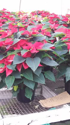 Poinsettia Plants growing in a PittMoss® based grower mix at Hothouse Greenhouse in Washington, PA.