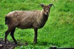 www.Zootierliste.de Castlemilk Moorit Schaf*