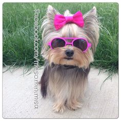 """Misa Minnie: """"This is my new interrogation face brought to you by my pals at Scooby shades. :)You better tell me where those treats are. I mean business!"""""""