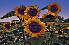 Sun Flowers  Maria Coulson
