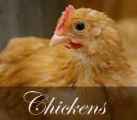 Keeping Chickens, by Homestead Revival. Good introductory post, discussing helpful books, overall cost, a bit about methods.