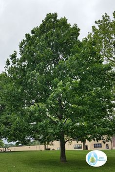 Northern Red Oak - This is one of the fastest growing of oak trees (as fast growing as silver maple).   Northern Red Oak is an excellent wildlife and shade tree.  It grows in Zones 3-8.  It shouldn't need any watering after planting if using the Waterboxx PlantCocoon (from www.dewharvest.com).  Proper sized trees are available for a few dollars from Arbor Day Foundation.