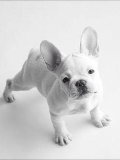 French Bulldog Puppy. #frenchbulldog