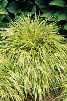 Botanical name: Hakonechloa macra AureolaCommon name: Japanese forest grassUSDA zones: 4 to 9 Water requirement: Moisture-retentive soilLight requirement: Partial to full shade, but it will be greener in full shadeMature size: 2 feet tall and 3 feet wide When to plant: In spring or fall