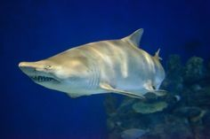 Sand tiger shark:  Like all sharks, sand tiger sharks breathe underwater, through their gills. But sand tigers have one unique habit: They are the only sharks that come to the surface to gulp air. This gulp of air isn't for breathing, though. After the shark swallows the air it ends up in its stomach. The air makes the shark more buoyant, so it can float motionless in the water as it watches for prey.