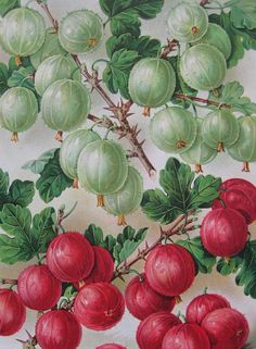 Antique Botanical Illustration