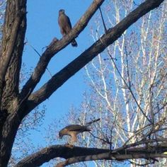 Two Cooper's Hawks. One feasting on a kill the other hoping and trying to mooch some leftovers. #coopershawk #hawks