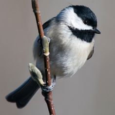 Rule 71: Figure Out What Kind Of Chickadees You've Got Learn these seven species and you'll never go dateless again.  http://www.audubon.org/news/rule-71-figure-out-what-kind-chickadees-youve-got