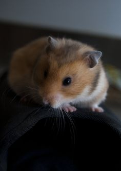 A golden Hamster by alfaromeogirl on deviantART