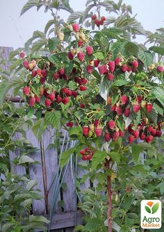 Bogatyr raspberry tree Bogatyr dere So Creative Things Creative DIY Projects is part of Strawberry garden - [ad Raspberry tree Hero Bogatyr Tree Crimson Source by lavonnethorpe Strawberry Garden, Fruit Garden, Garden Trees, Garden Art, Fruit Plants, Fruit Trees, Raspberry Tree, Garden Nursery, Vegetable Garden Design