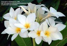 PlantFiles Pictures: Plumeria 'Venezuelan Snowball' (Plumeria rubra) by twistedparrot Tropical Backyard, Flower Landscape, Snowball, Hawaiian, Bird, Nature, Flowers, Plants, Pictures