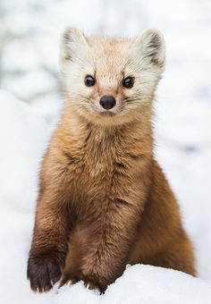 "Photo Series | American Pine Marten ""Images by © • Daniel Cadieux • Philip Childs • Joe Wilson"