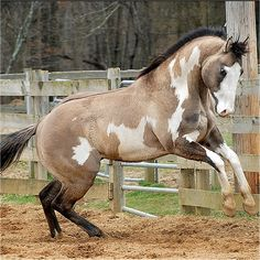 grullo australian stock horse - Google Search GORGEOUS
