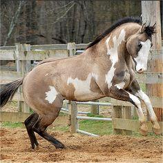 grullo australian stock horse - Google Search GORGEOUS