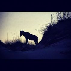 Wild horse on the Outer Banks