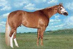 Halter AQHA stallion horse
