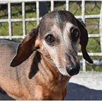 Available Pets At Little Paws Dachshund Rescue In Orangeburg South Carolina With Images Dachshund Rescue Dachshund Dachshund Adoption