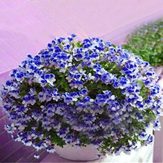 Egrow 100 PCS Geranium Seed Garden Potted Flower Seeds Perennial Courtyard Balcony Outdoor Plant