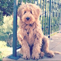 Somebody buy me this dog please!!! Australian labradoodle