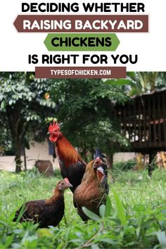 Chickens in backyard Types Of Chickens, Raising Backyard Chickens, Backyard Chicken Coops, Keeping Chickens, Pet Chickens, Rabbits, Organic Gardening, Sustainable Gardening, Small Farm