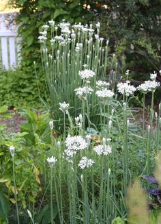 Garlic Chives - a hardy perennial herb with strap-shaped leaves and straight thin taller white-flowering stalks. With a delicate garlic flavor the stems and blooms are both edible and used extensively in oriental dishes. Store garlic chives in a plastic bag in the refrigerator for up to a week. They may be snipped with scissors and used fresh or in cooked dishes. It's important to harvest your garlic chives, by clipping them almost to the ground. This keeps the plant producing fresh leaves.