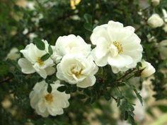 Rosa pimpinellifolia 'Plena' - juhannusruusu - Pinsiön taimisto