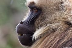 Male Gelada Baboon, Semien Mountains. See more on http://facebook.com/giovanni.mari.photographer