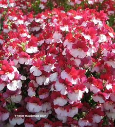 PlantFiles Pictures: Nemesia 'Mello Red & White' (Nemesia strumosa) by Kell Nemesia Flowers, Seed Shop, Bonsai Seeds, Cheap Flowers, Flower Seeds, Hanging Baskets, Garden Design, Red And White, Diys
