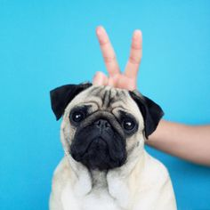 She's doing those stupid bunny ears again, isn't she? Loulou the pug