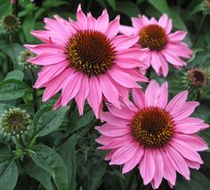 Echinacea Gemini Pink - Double rows of pink petals flare out in a circle around the dark cones on this strong garden performer that stands up to rough weather. z4-8