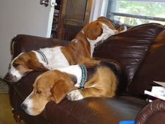 How a Basset Hound gets comfortable.