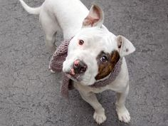 TO BE DESTROYED 5/9/14 Manhattan Center   My name is GOZMAN. My Animal ID # is A0998895. I am a male white and brown pit bull mix. The shelter thinks I am about 1 YEAR   I came in the shelter as a STRAY on 05/06/2014 from NY 10033, owner surrender reason stated was STRAY. https://www.facebook.com/photo.php?fbid=800017196677828&set=a.611290788883804.1073741851.152876678058553&type=3&theater