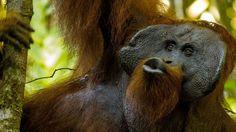 Pesquisa mostra que rangidos de primatas podem explicar como os homens formaram suas primeiras palavras