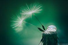 "Flower Photography - dandelion seeds raindrops green decor nature photography flower wall art dandelions white flowers print - ""Holding On"""