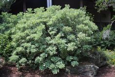 variegated pittosporum (fragrant)