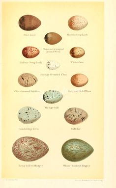 birds_parts_eggs-02556 - 054 - collection nice naturalist nature 1900s transfer royalty ornaments Edwardian scan flora lithographs high paintings use old vintage 17th clipart plants 18th instant Artscult books Graphic illustration masterpiece floral flower blooming Victorian  botanical picture free decoration collage ArtsCult commercial art pack digital supplies printable pre-1923 download scrapbooking natural domain 1800s Paper century fabric public 1700s craft botany beautiful 300 dpi… Commercial Art, Botany, Floral Flowers, Graphic Illustration, Clip Art, Birds, Digital, Vintage, Bird