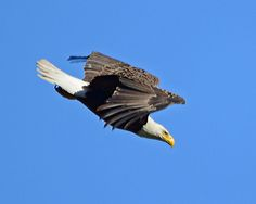 Dave Soderstrom One of our local bald eagles flying by in Batavia,IL. Bee Do, Bald Eagles, Squirrel, Illinois, Tattoo, Bird, Animals, Animales, Animaux